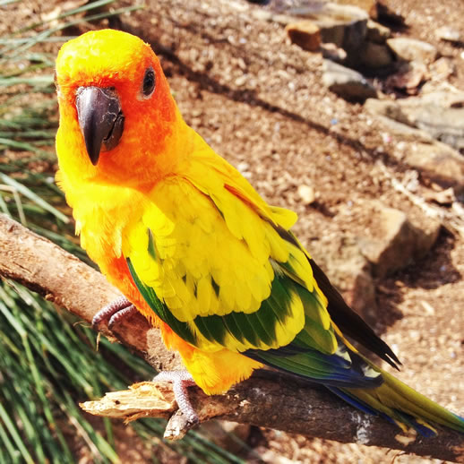maleny botanic garden review parrot