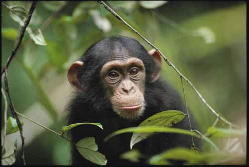things to do in tanzania chimp