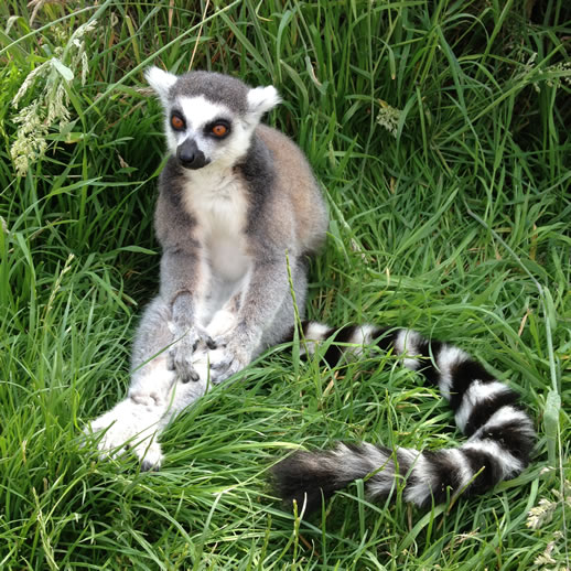 longleat lemur