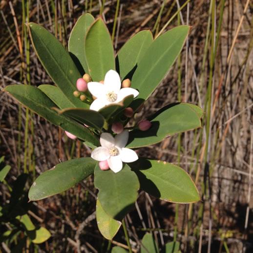 mount barney wildflowers 2