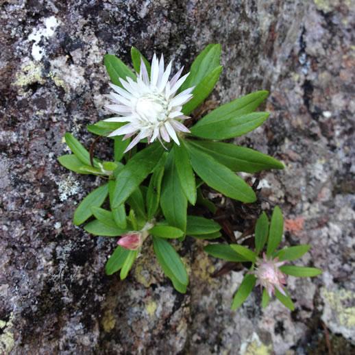 mount barney wildflowers