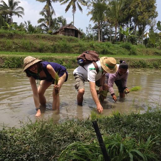 rumah desa planting rice paddy 2