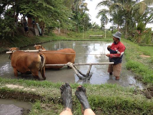 rumah desa ploughing rice paddy 2