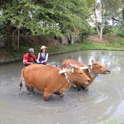 rumah desa ploughing rice paddy