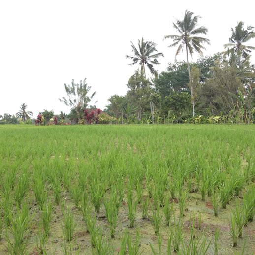 rumah desa rice paddy