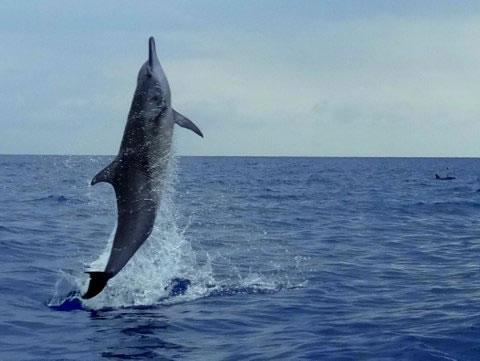 savo-island-dolphin