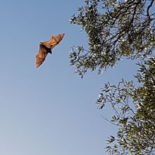 Bat spotting in Noosa